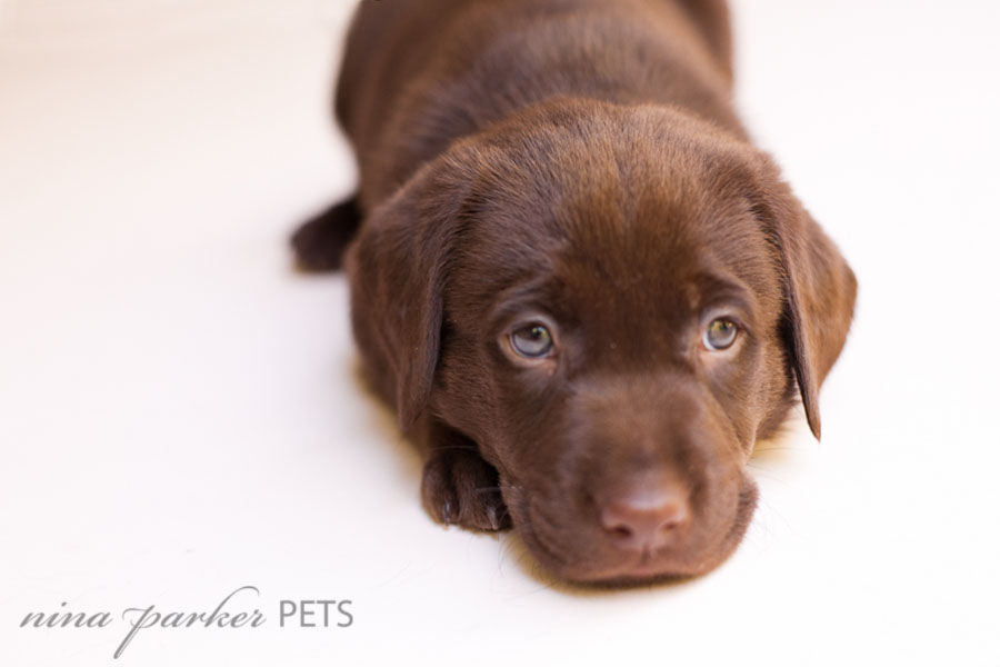 Chocolate Lab Pups - Studio